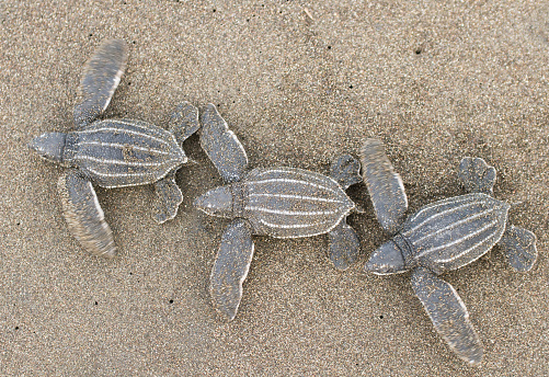 Sea Turtle「Baby Leatherback Sea Turtles」:スマホ壁紙(17)