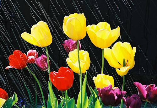 チューリップ「春にチューリップの花が、レイン」:スマホ壁紙(3)