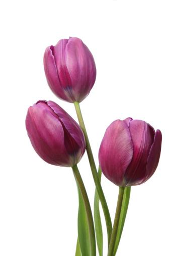 チューリップ「春のチューリップ」:スマホ壁紙(3)