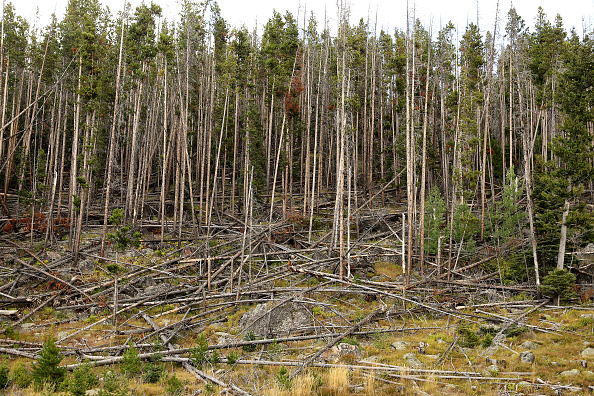 Tree「Montana Forests Struggle With Climate Change」:写真・画像(15)[壁紙.com]