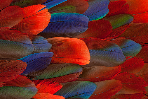 Feather「Female Eclectus Parrot feather design」:スマホ壁紙(7)