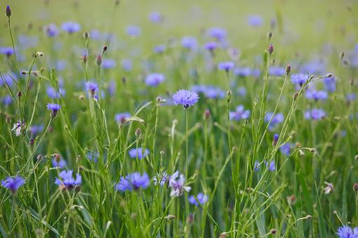 Wildflower「Cornflowers」:スマホ壁紙(9)