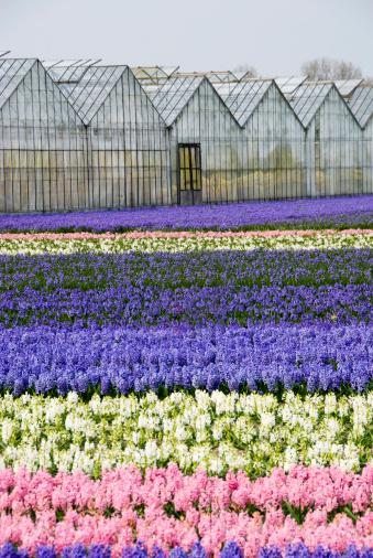 Keukenhof Gardens「Blue, white and pink hyacinths」:スマホ壁紙(10)