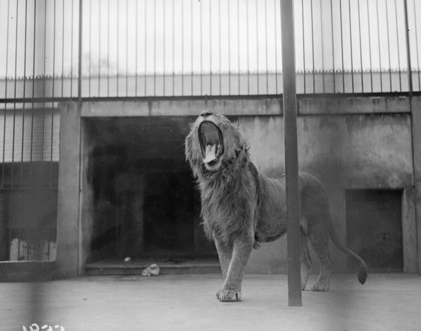 Big Cat「Royal Yawn」:写真・画像(4)[壁紙.com]