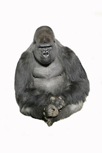 Gorilla「Image of a sitting gorilla against a white background」:スマホ壁紙(9)