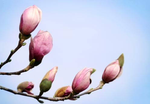 Magnolia「Magnolia buds, Shallow DOF」:スマホ壁紙(17)