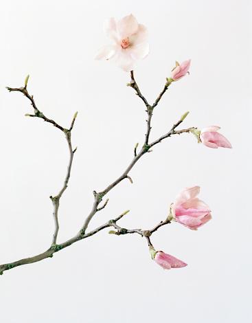 Magnolia「Magnolia buds and flowers」:スマホ壁紙(18)