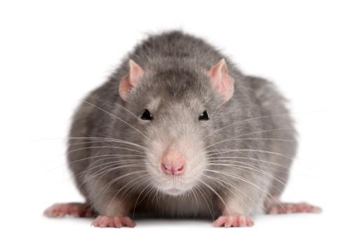 Animal Whisker「Blue rat」:スマホ壁紙(9)