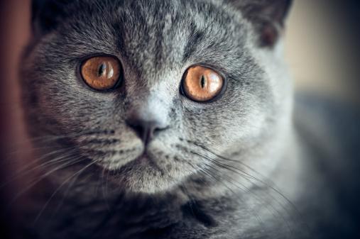 ショートヘア種の猫「ウヨウヨ英国ショートヘア種の猫」:スマホ壁紙(4)