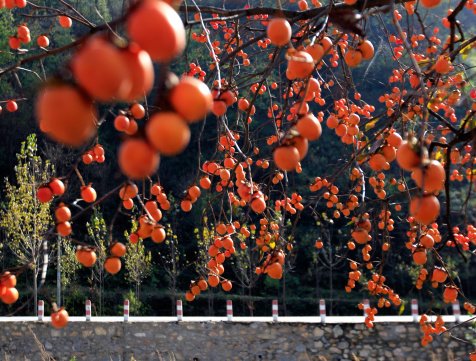 柿「Nature view of persimmon」:スマホ壁紙(1)
