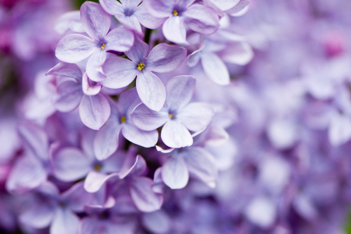 Lavender Color「Lilac flowers」:スマホ壁紙(10)