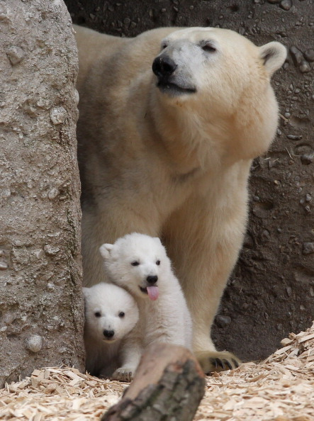 Polar Bear「Munich Zoo Presents Twin Polar Bear Babies」:写真・画像(18)[壁紙.com]