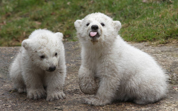 Munich Zoo Presents Twin Polar Bear Cubs:ニュース(壁紙.com)