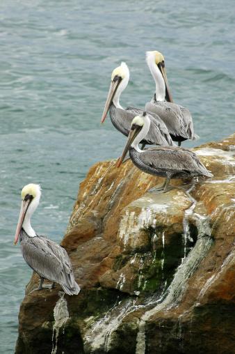 Monterey Bay「brown pelicans, Pelecanus occidentalis」:スマホ壁紙(14)