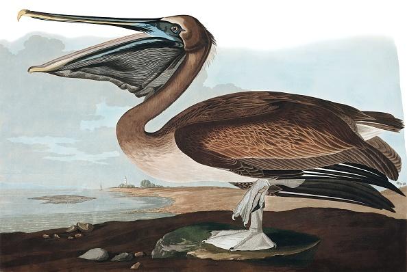 Beak「Brown Pelican」:写真・画像(14)[壁紙.com]