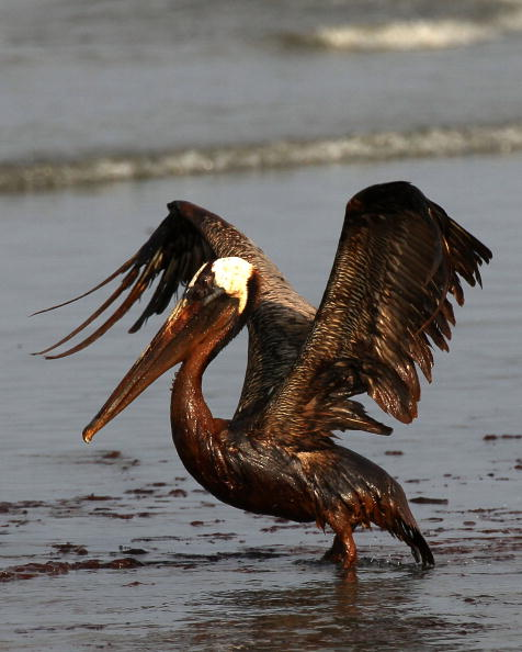 鳥「Gulf Oil Spill Spreads, Damaging Economies, Nature, And Way Of Life」:写真・画像(10)[壁紙.com]