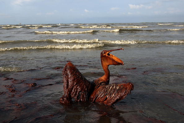 Bird「Gulf Oil Spill Spreads, Damaging Economies, Nature, And Way Of Life」:写真・画像(6)[壁紙.com]