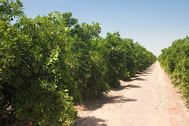 Orange groves Fresno County, Central California, Sierra Nevada, California, United States of America:スマホ壁紙(壁紙.com)