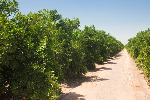 Grove「Orange groves Fresno County, Central California, Sierra Nevada, California, United States of America」:スマホ壁紙(5)