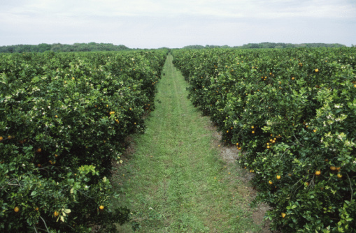 Grove「Orange Groves , Florida , North America」:スマホ壁紙(18)