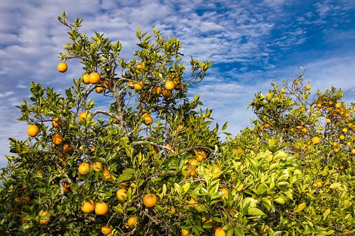 Grove「Orange grove」:スマホ壁紙(16)