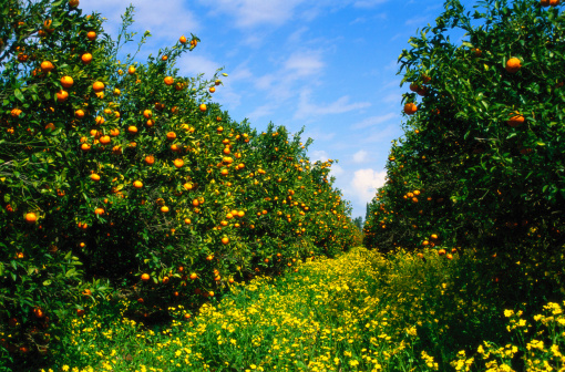 Grove「Orange Grove, yellow flowers covering path」:スマホ壁紙(10)