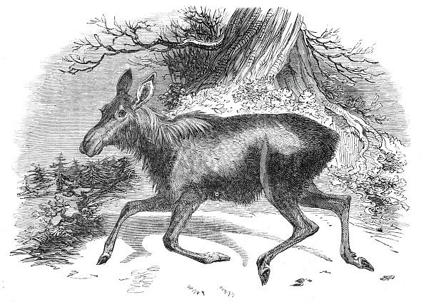 Red Deer - Animal「Moose Deer」:写真・画像(9)[壁紙.com]