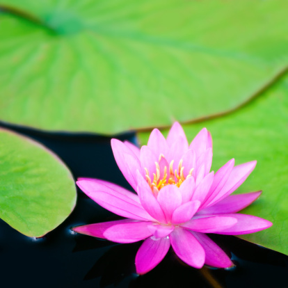 Water Lily「Pink waterlily with large green water leaves - VI」:スマホ壁紙(11)
