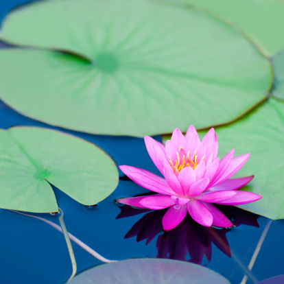 Water Lily「Pink waterlily with large green water leaves - V」:スマホ壁紙(14)