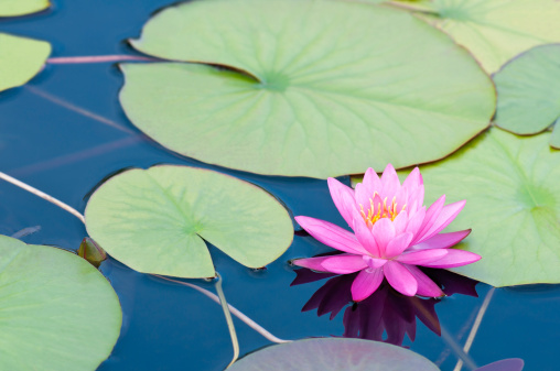 Water Lily「Pink waterlily with large green water leaves - II」:スマホ壁紙(10)