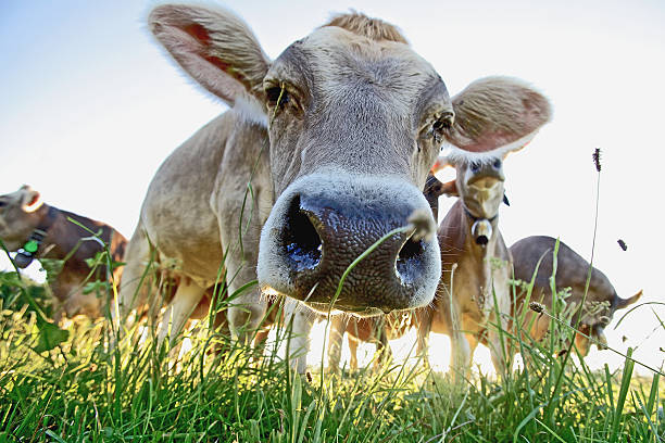 Cows on a meadow:スマホ壁紙(壁紙.com)