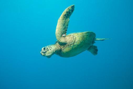 Green Turtle「Flying Turtle」:スマホ壁紙(16)