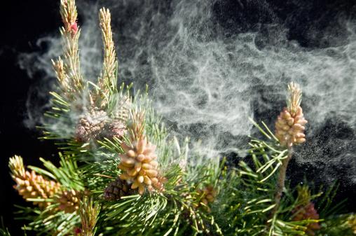 Pine Cone「Pine Pollen ... Allergies!」:スマホ壁紙(18)