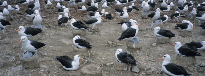 Falkland Islands「Albatross Colony」:スマホ壁紙(19)