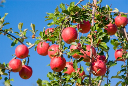 Apple Tree「Red apple trees in an orchard. Hirosaki, Aomori Prefecture, Japan」:スマホ壁紙(1)