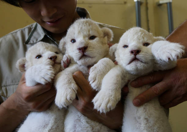 Seven Lion Cubs born At Himeji Central Park:ニュース(壁紙.com)