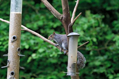 Gray Squirrel「Eastern Grey Squirrel, Sciurus carolinensis」:スマホ壁紙(10)
