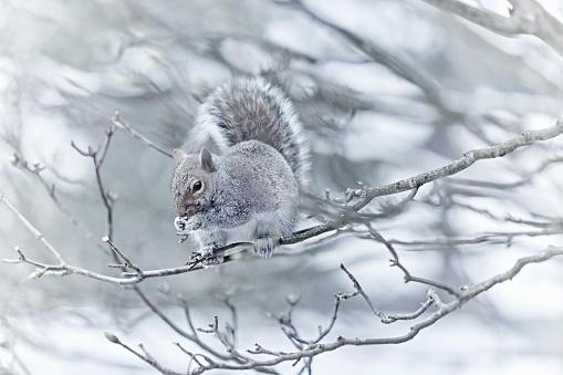 Gray Squirrel「Eastern Grey Squirrel」:スマホ壁紙(0)