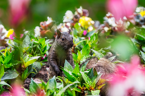 Gray Squirrel「A Eastern Grey Squirrel (Sciurus Carolinensis) Looking Out From Among A Bed Of Flowers In Beacon Hill Park」:スマホ壁紙(0)