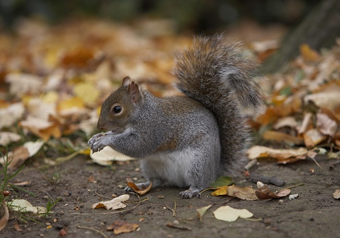 Gray Squirrel「Eastern grey squirrel (Sciurus carolinensis) perching on the ground surrounded by leaves」:スマホ壁紙(15)