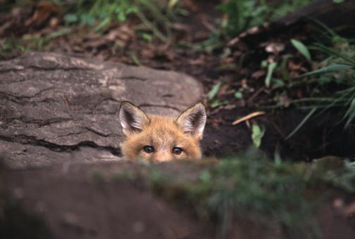 Fox「Red fox peeking over rock in the forest」:スマホ壁紙(3)