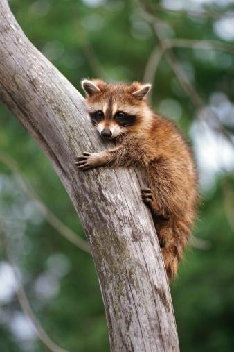 アライグマ「Raccoon clinging to tree」:スマホ壁紙(19)
