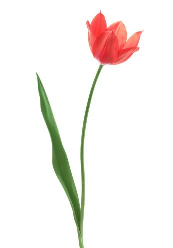 Single Object「Tulip」:スマホ壁紙(10)