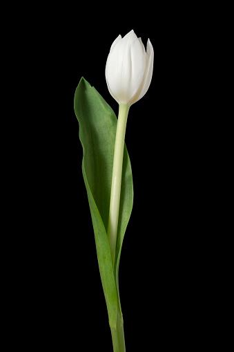 Stamen「Tulip.」:スマホ壁紙(16)
