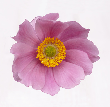Stamen「Fragile pink Japanese anemone in close up」:スマホ壁紙(8)
