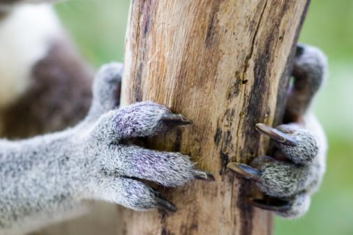 Arboreal Animal「Koala Claws, Queensland, Australia」:スマホ壁紙(8)
