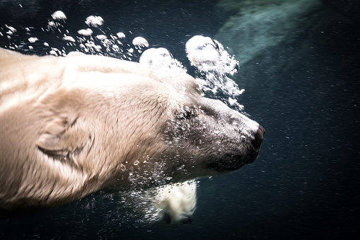 Polar Bear「Last polar bear」:スマホ壁紙(0)