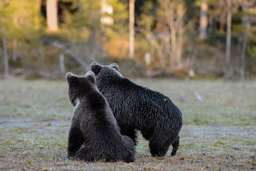 Eurasian Brown Bear「Eurasian brown bear (Ursus arctos arctos), two bears alert by noise from other bears in the forest, Finland」:スマホ壁紙(18)