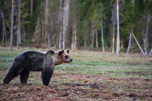 Eurasian Brown Bear「Eurasian brown bear (Ursus arctos arctos), at a swampy clearing at midnight, Finland」:スマホ壁紙(6)