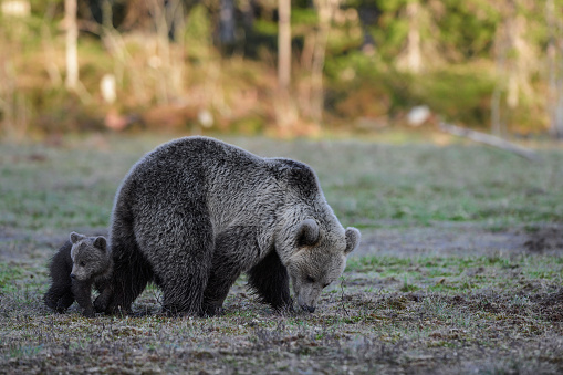 Eurasian Brown Bear「Eurasian brown bear (Ursus arctos arctos), mother bear with cub, she turned up late, 22:30 at night, Finland」:スマホ壁紙(11)